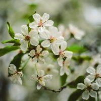 Вишня в цвету :: Виктория Гавриленко