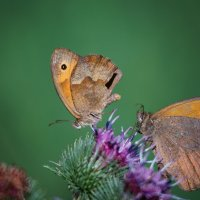 две бабочки :: Стас