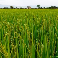 Рисовые поля :: Марина Анищук