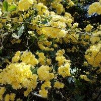 Желтые плетистые розы. :: Жанна Викторовна