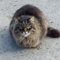 Мартовский кот :: Лидия Суюрова
