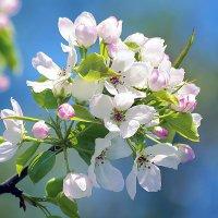 Яблоневый цвет. :: Марина