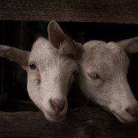 goats :: Asia Putintseva