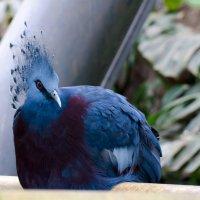 Веероносный венценосный голубь :: Viktor Schwindt