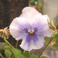Viola tricolor 28 :: Андрей Lactarius