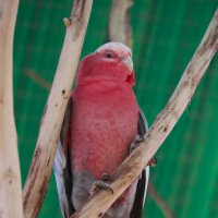 Попугай розовый какаду :: Александр Деревяшкин