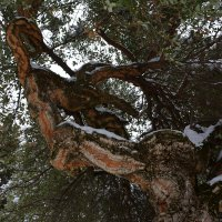 Дерево-змея. :: Anna Gornostayeva