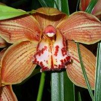 Орхидея :: Наталия Короткова