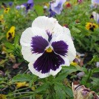 Viola tricolor 34 :: Андрей Lactarius