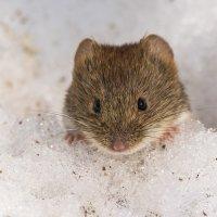 Мышка. :: Николай Охотник