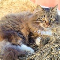 Пушистый кот :: Юлия Ошуркова