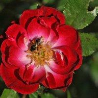"""""""Роза, роза, алый цвет,.."""" :: Vit"""