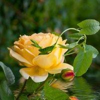 Желтая роза :: GALINA