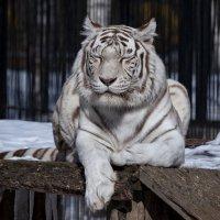 Бенгальский тигр :: Владимир Шадрин