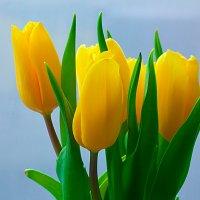 Жёлтые тюльпаны :: Анатолий Иргл