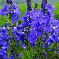 Голубая вероника в поле :: Валентина Пирогова