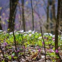Весенние цветы :: Сергей Форос