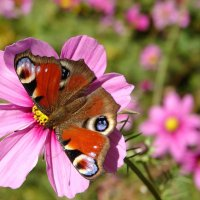 Красавица с павлиньими глазами :: SELENA4950