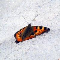 Бабочки на снегу... :: Андрей Заломленков