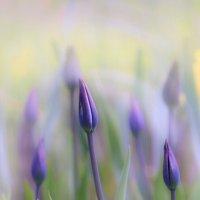 Тюльпаны :: Lusi Almaz