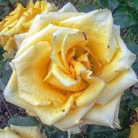 Жёлтая роза :: Галина Каюмова