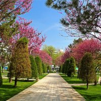 Время цветения церциса в Ташкенте :: Светлана