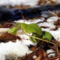 Уж фотосинтез рвётся из-под снега...:) :: Андрей Заломленков
