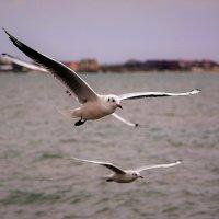 Чайки и море :: Ольга (crim41evp)