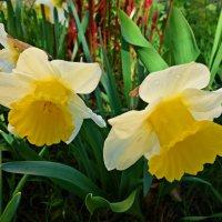 """""""...Нарцисс расцвёл ! Само очарованье ! В нём столько чистоты и светлого сиянья !"""" :: Galina Dzubina"""
