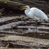 Great Egret :: Naum