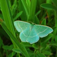 Hemistola chrysoprasaria - Пяденица зелёная малая :: vodonos241