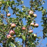 Дачные яблочки :: Надежда