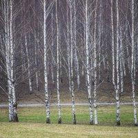 Березки весной. :: Владимир Безбородов