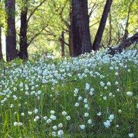 Ветреница цветет :: Екатерина Торганская