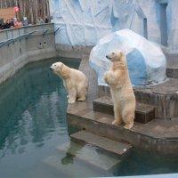 Белые мишки Новосибирского зоопарка :: Марина Таврова