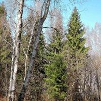 Весенний лес :: Денис Масленников