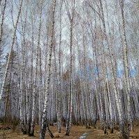 Красота апрельского леса ... :: Татьяна Котельникова