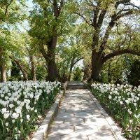 Дорожка среди тюльпанов :: Елена Гуляева (mashagulena)