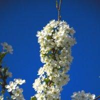 вишня белоснежная цветет... :: Геннадий Титов