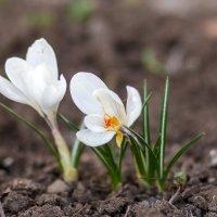 Весенние цветы :: Лилия Масло