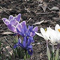 Весна идёт, весне дорогу... Крокусы. :: Владимир Драгунский