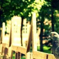 Отдыхающий голубок :: Сашко Губаревич