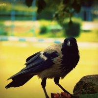 Серая ворона с куском мяса в лапах :: Сашко Губаревич