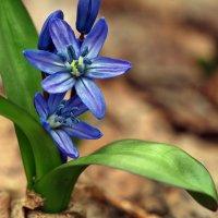 Весны цветы. Апрель... :: Александр Резуненко