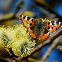 и снова про бабочек...4 :: Александр Прокудин