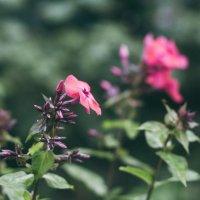 Цветы :: Дарья Воронина