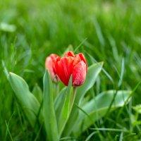 Красные тюльпаны :: Николай Николенко