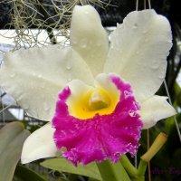 Орхидея :: Александр Бойченко