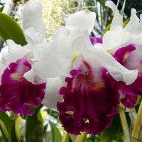 Орхидеи :: Александр Бойченко