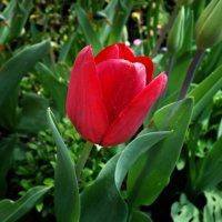 """""""Ах, эти первые тюльпаны! Как я люблю их нежный цвет!...! :: Galina Dzubina"""